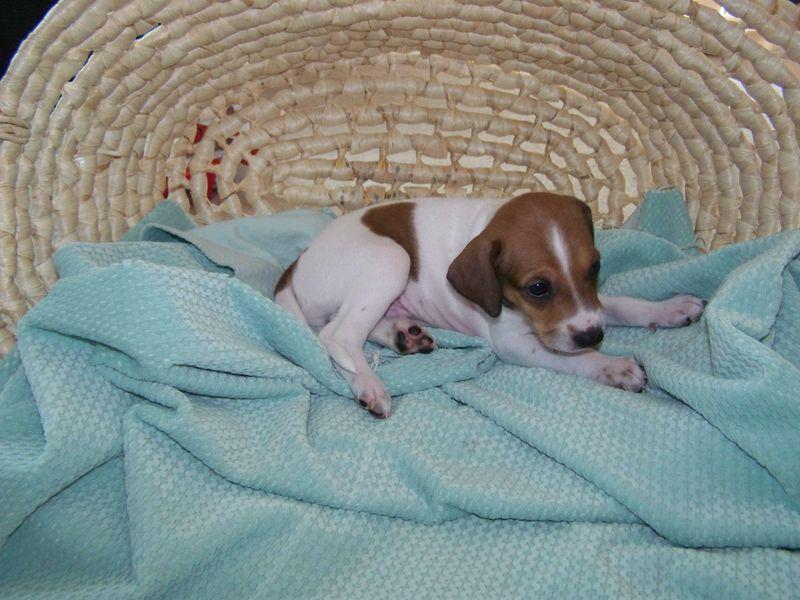 Sadie's Puppies, born May 16 055