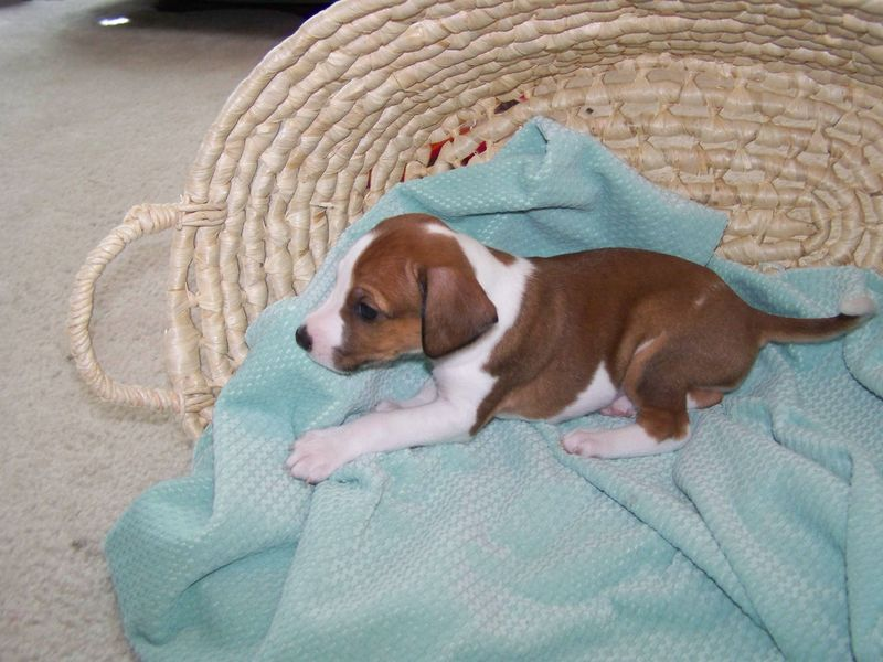Sadie's Puppies, born May 16 059