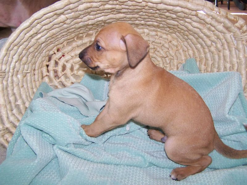 Sadie's Puppies, born May 16 049