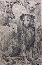 Antique collie sheepdog