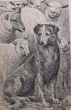 Antique collie sheepdog