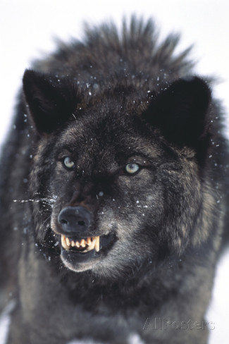 Dlillc-gray-wolf-baring-its-fangs